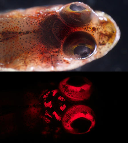 A triplefin blennie (Enneapterygius sp.) under white light (above) and blue light (below). © J. Sparks and D. Gruber