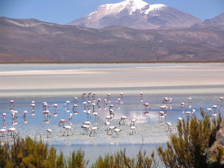 Puna Flamingos forage in Laguna Saquewa in Bolivia. In the background is Nevado Sajama, an extinct volcano and the highest peak in Bolivia. © F. Arengo