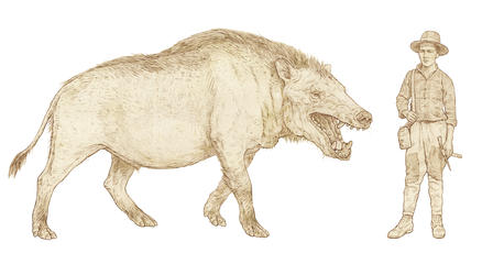 "Andrewsarchus, ""Superb Skull of a Gigantic Beast,"" Now on ..."