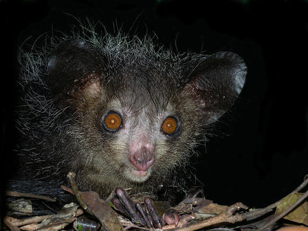 Found only on Madagascar, aye-ayes, which are nocturnal, are now known to be primates. Like other primates, they have forward-facing eyes and opposable thumbs. Frank Vassen (Flickr)