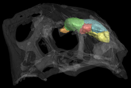The transparent skull and opaque brain cast of Citipati osmolskae, an oviraptor dinosaur, is shown in this CT scan. The endocast is partitioned into the following neuroanatomical regions: brain stem (yellow), cerebellum (blue), optic lobes (red), cerebrum (green), and olfactory bulbs (orange). © AMNH/A. Balanoff
