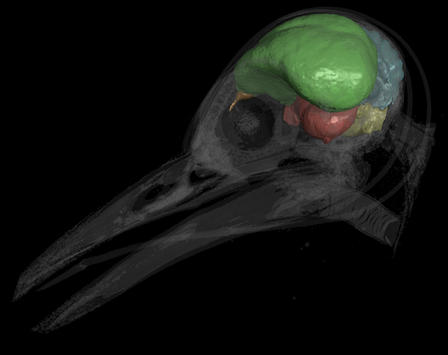 This CT scan shows a modern woodpecker (Melanerpes aurifrons) with its brain cast rendered opaque and the skull transparent. The endocast is partitioned into the following neuroanatomical regions: brain stem (yellow), cerebellum (blue), optic lobes (red), cerebrum (green), and olfactory bulbs (orange). ©AMNH/A. Balanoff