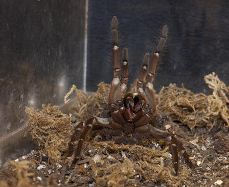 Goliath bird eater (Theraphosa stirmi): One of the biggest spiders in the world, it preys on snakes, mice, and frogs but, despite the name, rarely birds. ©AMNH/R. Mickens