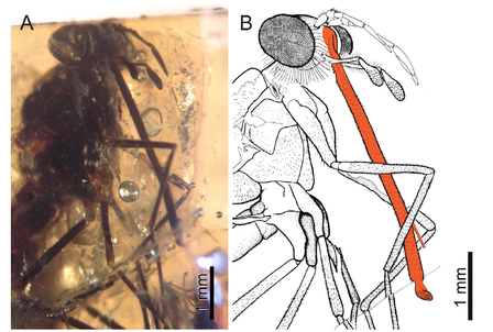 A slide of a fly fossilized in amber alongside a drawing showing scale as well as emphasis on the proboscis.