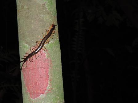 Giant Asian forest centipede (Scolopendra subspinipes) sighted during our night survey in Bach Ma National Park. ©Mary Blair