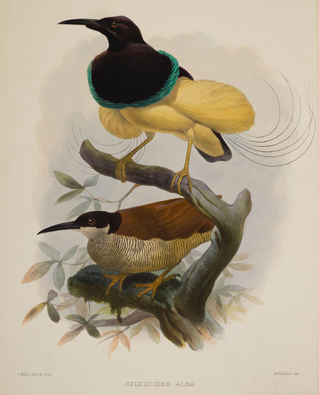 Daniel Giraud Elliot Bird of Paradise (1)