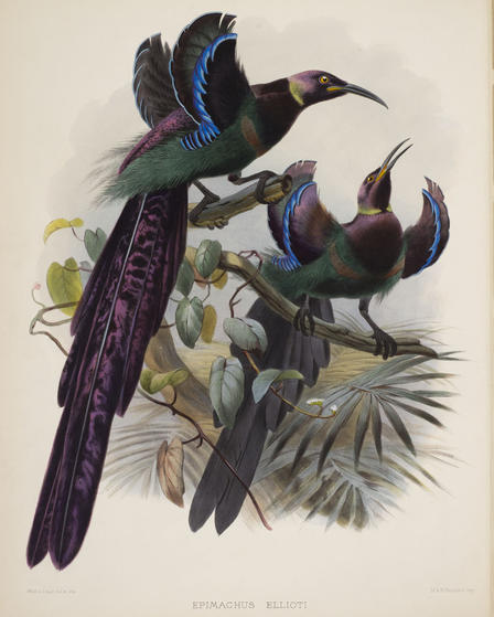 Daniel Giraud Elliot Bird of Paradise (2)