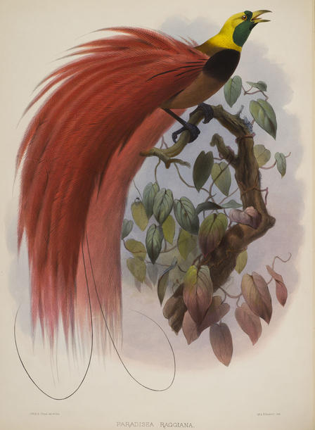 Daniel Giraud Elliot Bird of Paradise (3)