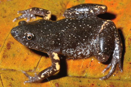 This fossorial Amazonian frog was just recently described and named by Peloso and colleagues. The publication was featured in the Bulletin of the AMNH. The species was named Chiasmocleis papachibe.  Photo: Marcelo Sturaro
