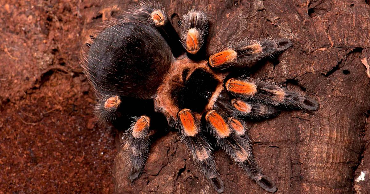 Ten Things to Know About Tarantulas | AMNH on map where do tarantula, how long do tarantulas live, map of where camels are from, where do tarantulas live, map where do lizards live on a glass, map of brown recluse spiders in the us, map of arkansas, were tarantula live, map where do praying mantis live, map of mississippi natural resources, maps of where the brown widows live, map of tarantulas in us, map of tarantula hawk wasp,