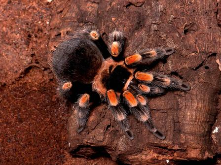This stunning tarantula, which lives mainly on the Pacific coast of Mexico, resides in burrows, hurrying out to prey on insects, small frogs, lizards, and mice. © AMNH\R. Mickens