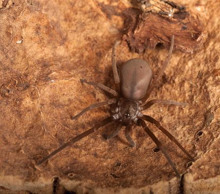 Southern house spider females make flat, tangled webs in dark corners and under overhangs and shutters to catch insects.  © AMNH\R. Mickens