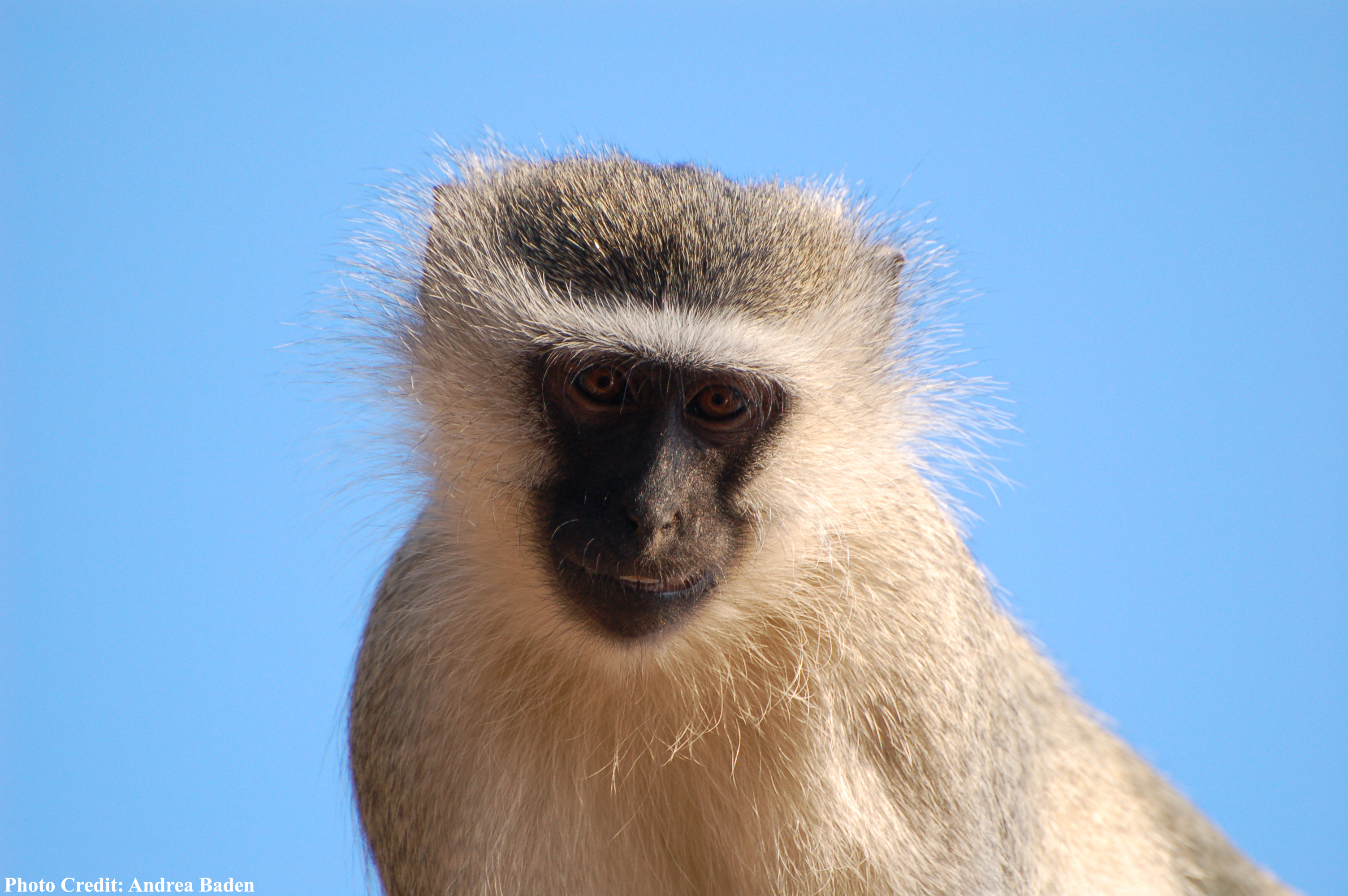 new abu dhabi fossil discovery supports u201cout of africa u201d monkey