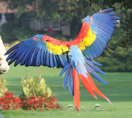 A brightly colored parrot in flight.