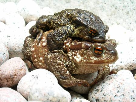 A couple of Bufo bufo, the common toad, during migration