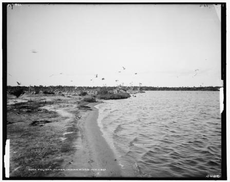 archival photograph of birds flying up from Pelican Island, Florida