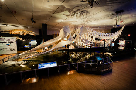 Sperm whale skeletons