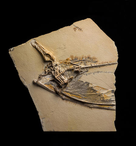 This exquisitely preserved pterosaur fossil, known as Dark Wing, will be on display in Pterosaurs: Flight in the Age of Dinosaurs, open from April 5, 2014.  © AMNH/D. Finnin