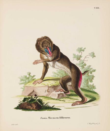 This mandrill (Mandrillus sphinx), with its delicate hands, cheerful expression, and almost upright posture, seems oddly human. While many images in Johann Christian Daniel von Schreber's Mammals illustrated (1774−1846) were quite accurate, those of primates generally were not. © AMNH/D. Finnin
