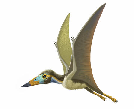 This tiny pterosaur, discovered in China in 2008, had a wingspan of about 10 inches.  © AMNH 2014