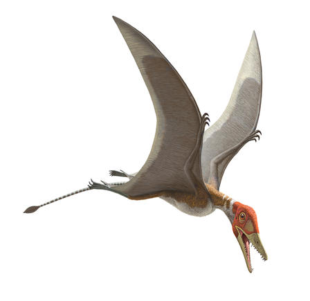 This early pterosaur, Preondactylus buffarinii, had a wingspan of about 18 inches. A fossil cast of this pterosaur is featured in Pterosaurs: Flight in the Age of Dinosaurs. © AMNH 2014