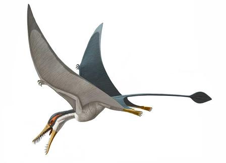 The pterosaur Rhamphorhynchus muensteri lived about 150 million years ago, in the Late Jurassic. More than 100 fossils of this species—shown in an artists's rendering above—have been found. © AMNH 2014