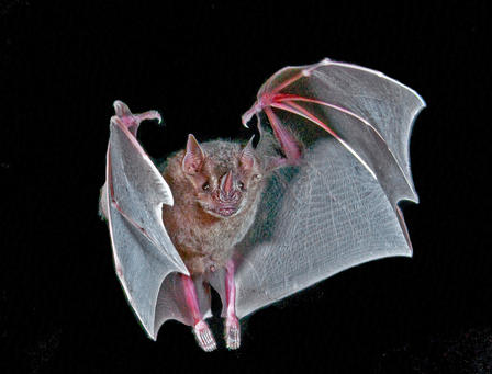 The Jamaican Fruit Bat will eat lots of kinds of fruit, but is especially partial to figs. © University of Chicago Press