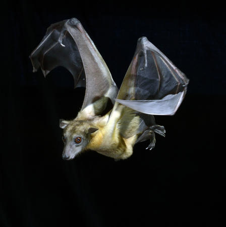 The Straw-Colored Fruit Bat will gather in colonies of up to a million bats. © University of Chicago Press