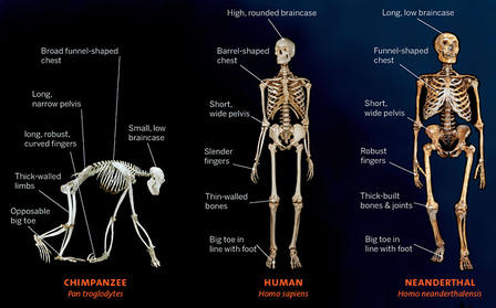 Human and Ape Skeleton