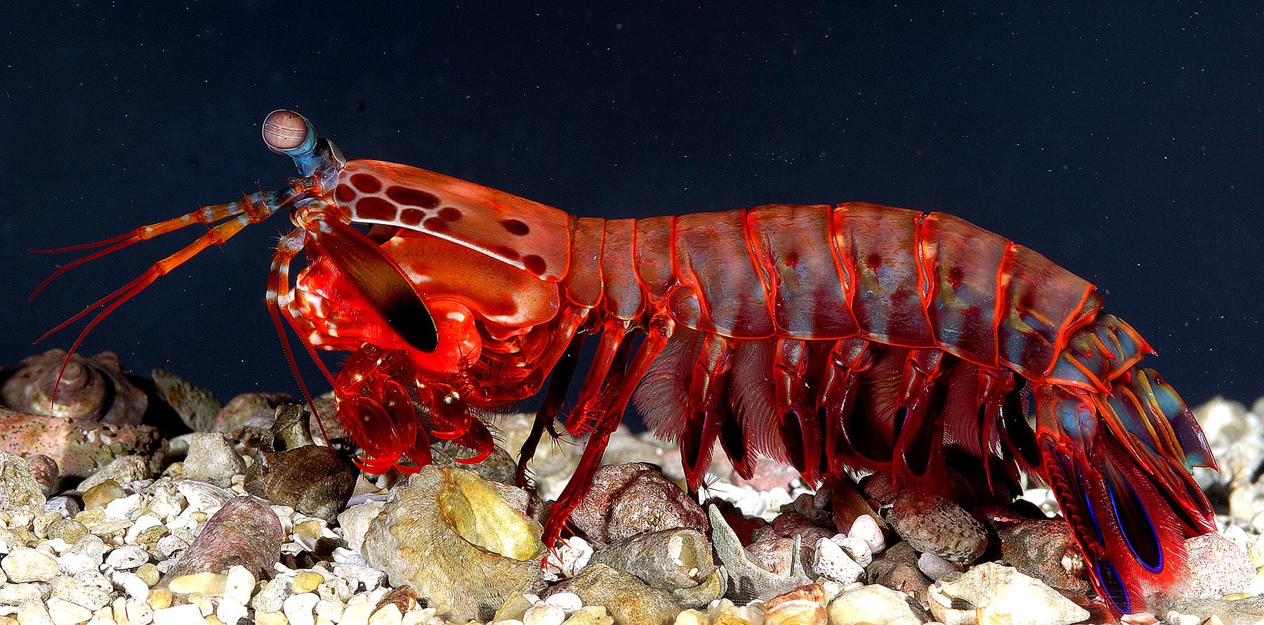 Fast Facts: Peacock Mantis Shrimp