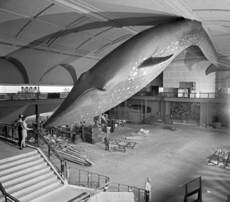 Renovated a decade ago, this blue-whale model has been on display in the Hall of Ocean Life since 1969.  © AMNH Library/333998