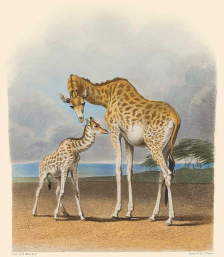 Giraffe Mother and Baby Natural Histories