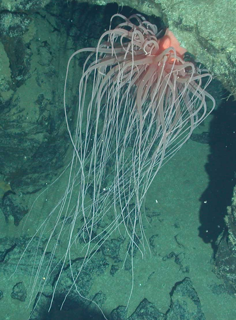 Sea Anemone Tree of Life Reveals Giant Species as Impostor for Real Giant Sea Creatures  557ylc