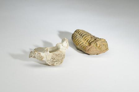 Anna's vertabrea and trilobite