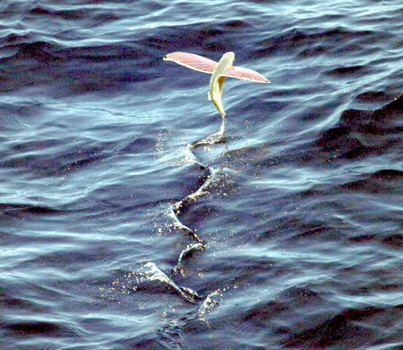 Pink-wing Flying Fish