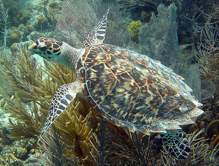 Hawksbill sea turtles are critically endangered. Caroline Rogers, USGS