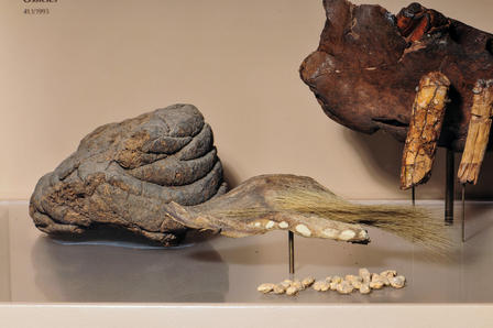 While president, Theodore Roosevelt donated specimens including this sloth skin and dung to the Museum. © AMNH/D. Finnin