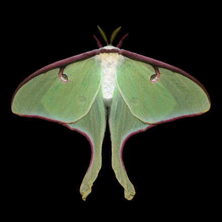 Luna moth, female, Jim des Rivieres