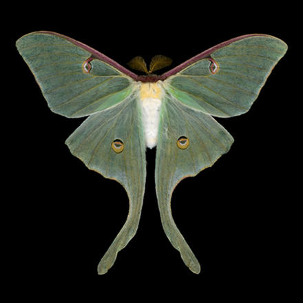 Male luna moth Jim des Rivieres