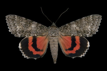 Once-married underwing moth Jim des Rivieres
