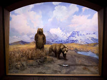 Alaska Brown Bear diorama