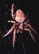 Barn Spider E.B. White