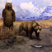 One bear standing and another approaching a captured fish in the Alaska Brown Bear Diorama