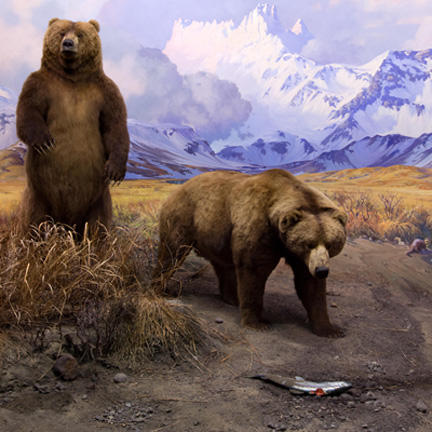 Close up Alaska Brown Bear diorama