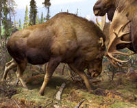 Male moose in the Hall of North American Mammals