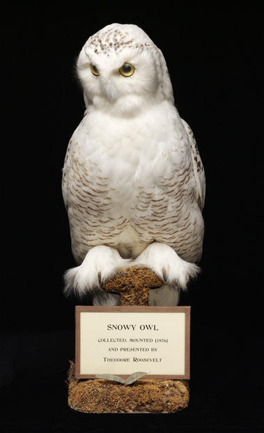 Snowy Owl collected by Theodore Roosevelt © AMNH/ C. Chesek