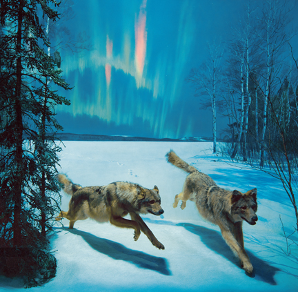 Wolf diorama new science