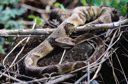 Bothrops jararaca Felipe Sussekind/via Wikimedia Commons