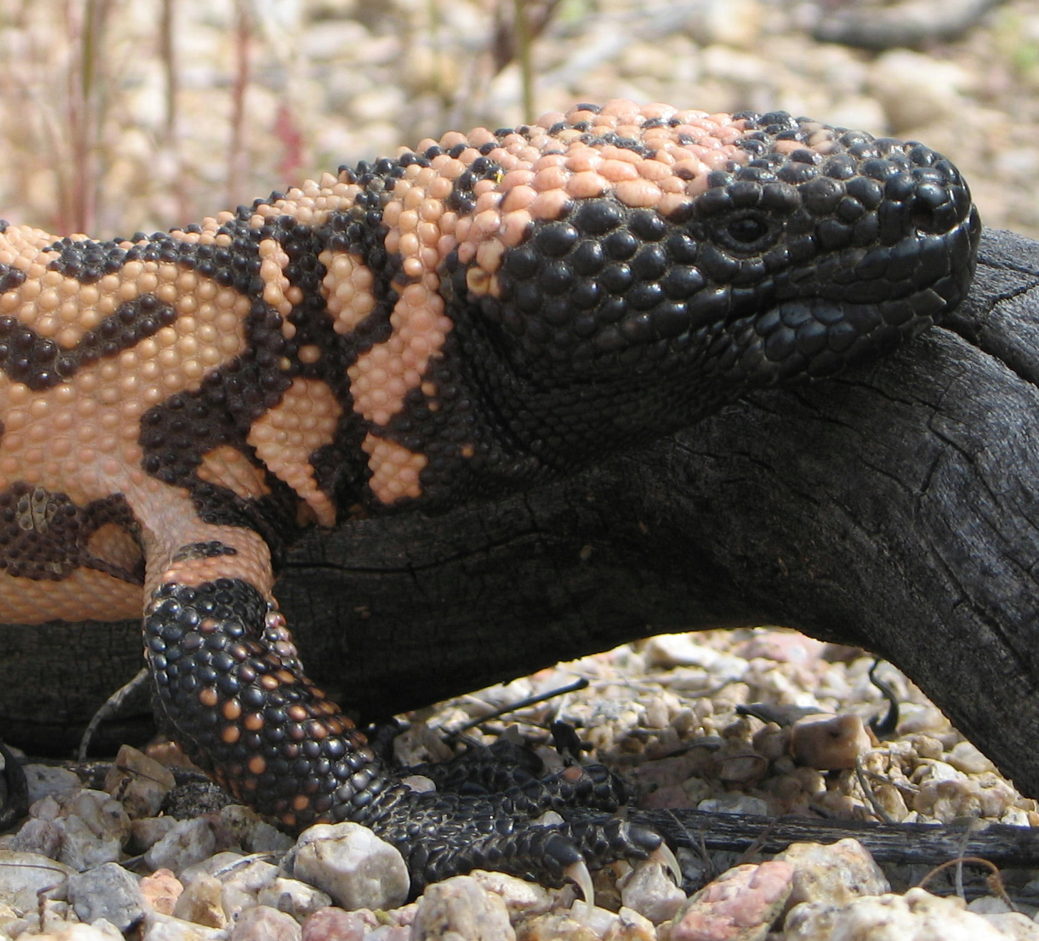 live gila monster in the power of poison