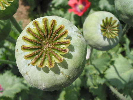 All parts of the opium poppy can be toxic, but it is said that the fruits are the most toxic; ingesting can be fatal.  Zyance/via Wikimedia Commons